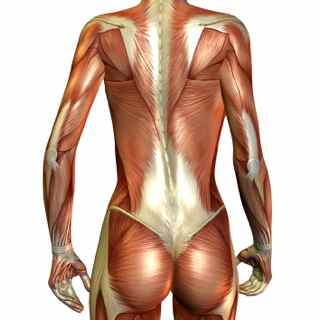 Back Muscle Anatomy